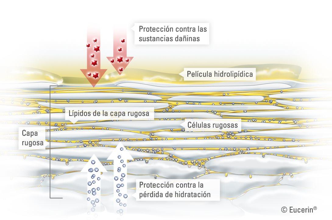 Eucerin: Estructura y función de la piel   Acerca de la piel